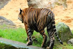Tiger som går i GermanyinAugsburg arkivfoto