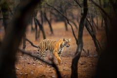 Tiger som går i indisk tiger för gammal torr skog med första regn, löst faradjur i naturlivsmiljön, Ranthambore, Indien stort c fotografering för bildbyråer