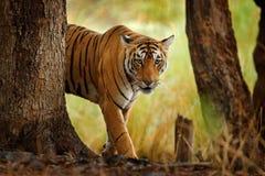 Tiger som går i indisk tiger för gammal torr skog med första regn, löst faradjur i naturlivsmiljön, Ranthambore, Indien stort c royaltyfri foto