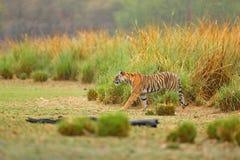 Tiger som går i sjögräs Indisk tiger med första regn, löst faradjur i naturlivsmiljön, Ranthambore, Indien Stor katt, Royaltyfria Bilder