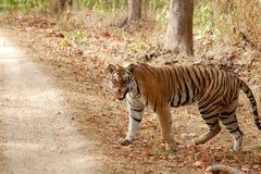 Tiger som går i skog Royaltyfri Fotografi