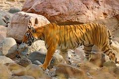 Tiger som går i stenar Lösa Asien Indisk tiger med första regn, löst djur i naturlivsmiljön, Ranthambore, Indien Stor katt, Arkivfoton