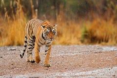 Tiger som går på grusvägen Djurliv Indien Indisk tiger med första regn, löst djur i naturlivsmiljön, Ranthambore, in royaltyfria foton