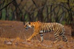 Tiger som går på grusvägen Indisk tigerkvinnlig med första regn, löst djur i naturlivsmiljön, Ranthambore, Indien bifokal arkivfoton
