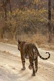 Tiger på kringstrykandet. Arkivfoton