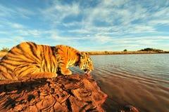 Tiger som har en drink arkivbilder