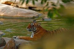 Tiger som lägger i skogvattendammet Lösa Asien Indisk tiger med första regn, löst djur i naturlivsmiljön, Ranthambore, Indien Royaltyfri Bild