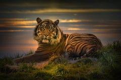 Tiger som lägger ner att vila på solnedgången royaltyfria foton
