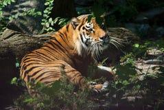 Tiger som ligger bredvid trädet Arkivbild