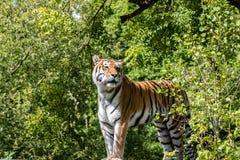 Tiger som någonstans ser Arkivbilder