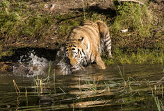 Tiger som plaskar i floden Royaltyfri Bild