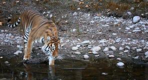 Tiger som skriver in vattnet royaltyfri foto