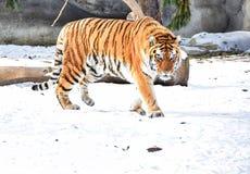 Tiger som strövar omkring på snö royaltyfri fotografi