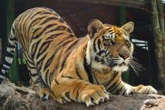 Tiger som vässar dess jordluckrare royaltyfri foto