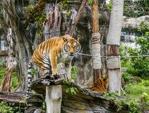 Tiger, Big cat Royalty Free Stock Photo