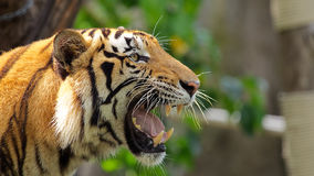 Tiger at Songkla Zoo Thailand. Royalty Free Stock Photography