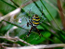 Tiger spider Stock Photography