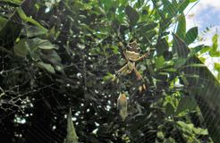 Tiger spider feeding on a butterfly royalty free stock photography