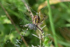 Tiger spider or wasp spider or Argiope bruennichii. Tiger spider hanging in her web with prey stock photo