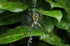 Tiger spider. A tiger spider in its web Royalty Free Stock Photo