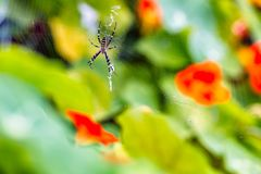 Tiger spider sitting on his web Stock Photography