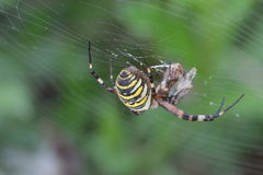 Tiger spider or wasp spider or Argiope bruennichii. Tiger spider hanging in her web stock images