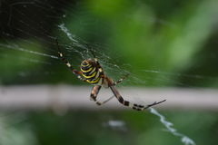 Tiger spider or wasp spider or Argiope bruennichii. Tiger spider hanging in her web stock photo