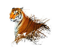 Tiger splash. Photos of tiger with sketch effect Stock Images