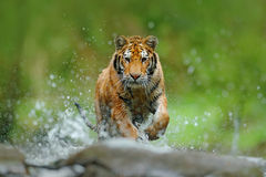 Tiger with splash river water. Action wildlife scene with wild cat in nature habitat. Tiger running in the water. Danger animal, t Stock Photo