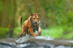 Tiger with splash river water. Action wildlife scene with wild cat, nature habitat. Tiger running in the water. Danger animal, taj. Ga royalty free stock photos