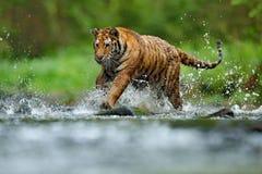 Tiger with splash river water. Tiger action wildlife scene, wild cat, nature habitat. Tiger running in water. Danger animal, tajga. Russia stock images