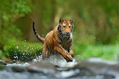 Tiger with splash river water. Tiger Action wildlife scene, wild cat, nature habitat. Tiger running in water. Danger animal, tajga. Russia stock image
