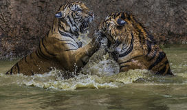 Tiger splash Royalty Free Stock Images