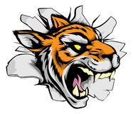 Tiger sports mascot breaking out. A tiger sports mascot or character breaking out of the background or wall Royalty Free Stock Images