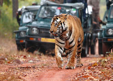 Tiger spotting on Safari. A large male spotted in an early morning safari at the Bandhavgarh Tiger Reserve, India. The tiger walks along as it is being followed Stock Photos