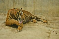 Tiger. Sriracha tiger zoo - chonburi , thailand : Close up of a tiger licking leg Stock Photo