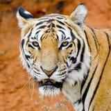 Tiger stående av en bengal tiger Arkivfoton