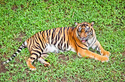 Tiger stående av en bengal tiger. Indonesien. Arkivfoton