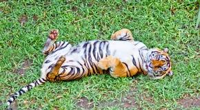 Tiger stående av en bengal tiger. Indonesien. Royaltyfri Fotografi
