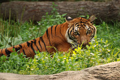 Tiger Stalk Photos stock