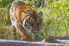 Tiger Stalking Imagem de Stock Royalty Free
