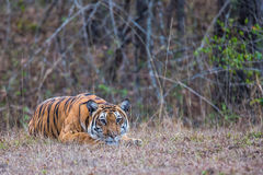 Tiger stalking Stock Photography