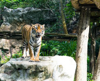Tiger Stalking on big stone Stock Photo
