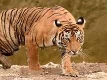 Tiger Stalking Royalty Free Stock Photo