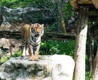 Tiger Stalking en piedra grande Foto de archivo
