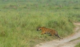 Tiger stalking on spotted deer in grassland stock image