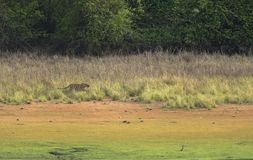 Tiger stalking on a Spotted deer in grassland stock photography