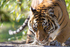 Tiger Stalking Stock Photo