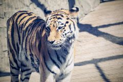 Tiger stand sideways and looks before himself forward Royalty Free Stock Image