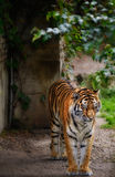 Tiger standing. Alone in the wild Stock Photo